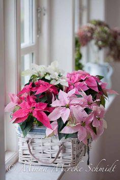Jouluiset kukat: aina kukkien ei tarvitse olla perinteisen värisiä.