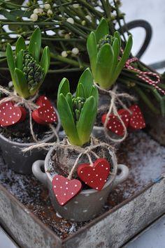 Jouluiset kukat: pikkumukit tarjoavat hyasinteille vakaan alustan.