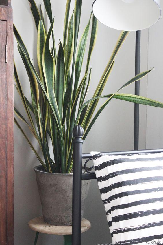 Viherkasvit: anopinkieli puhdistaa tehokkaasti ilmaa yön aikana.