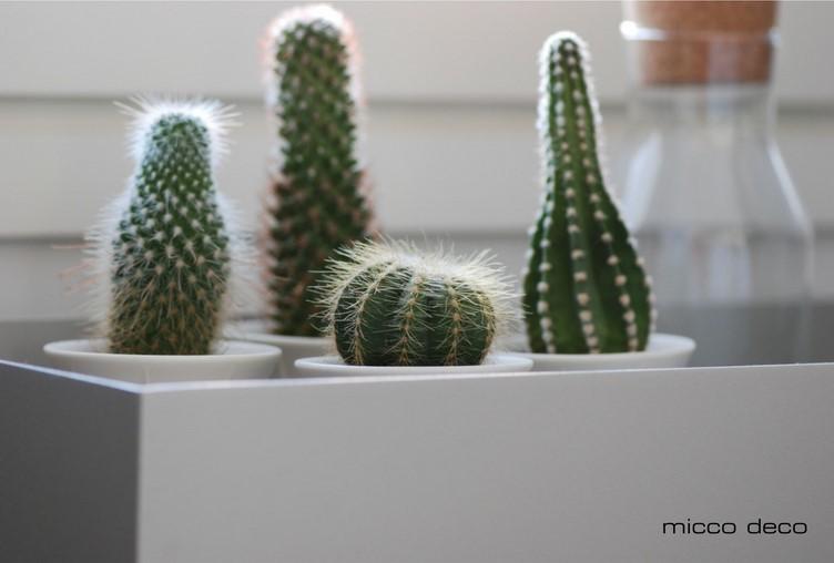 Kaktukset ovat viherkasveista helppohoitoisimpia.